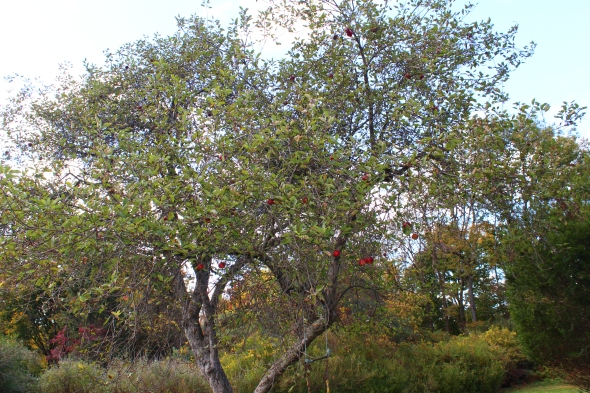 crab-apple trees
