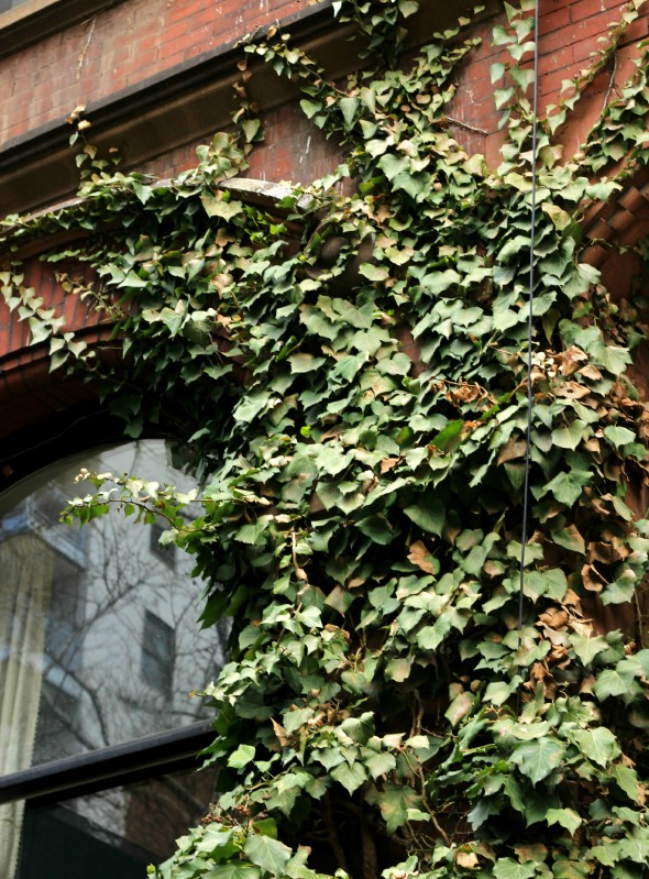 creeping ivy