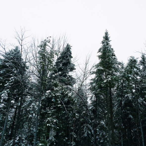 towering pine trees