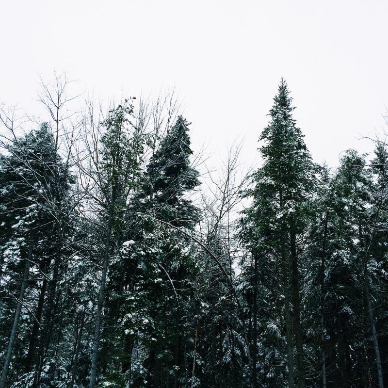 towering pine trees