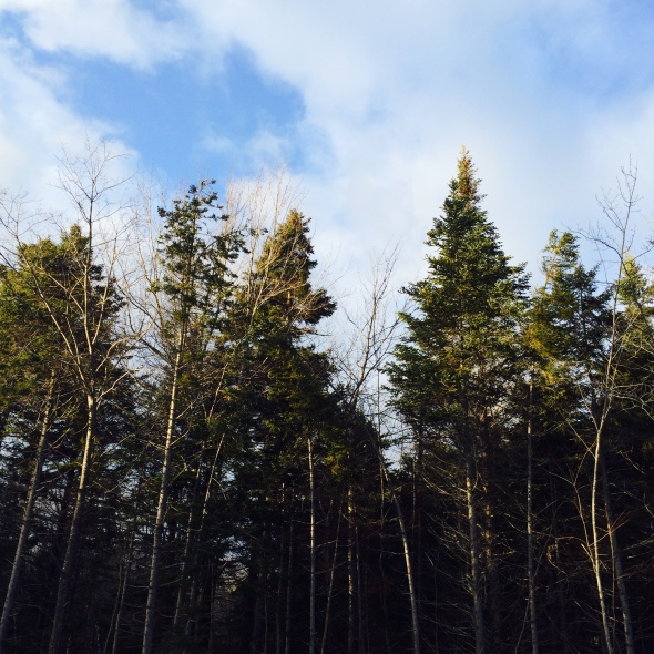 pine trees + blue sky