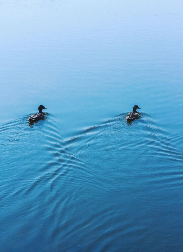 ducks in sync