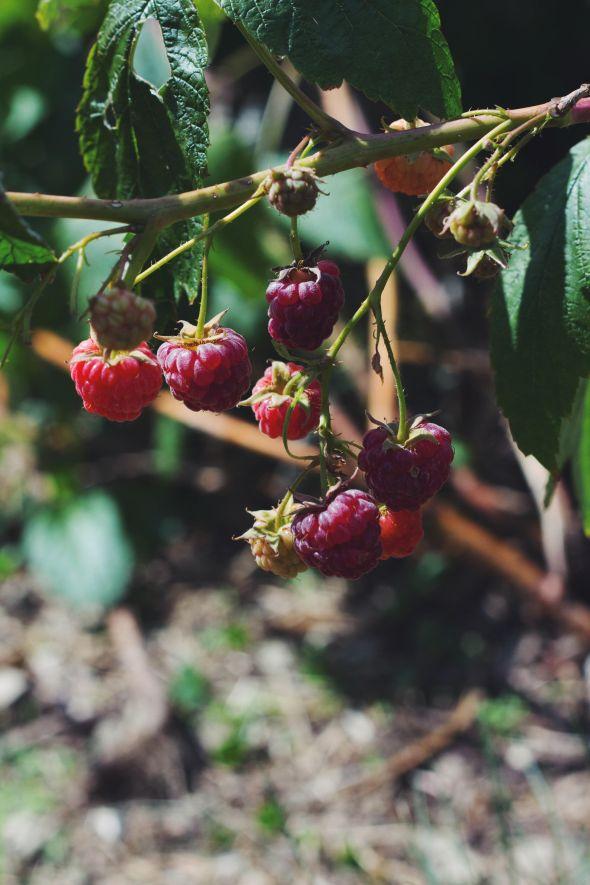 dangling raspberries