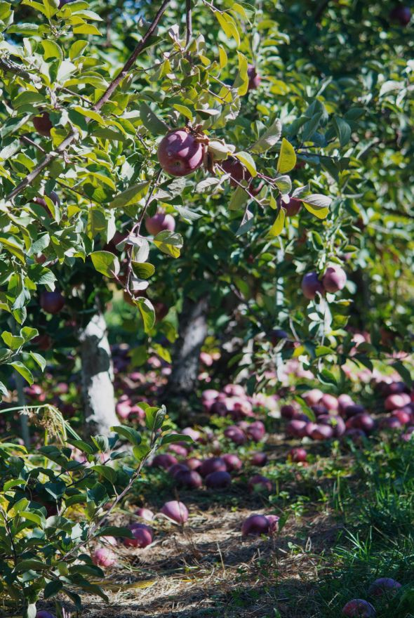 apple lined pathways